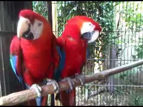 Scarlet Macaws Breeding Pair in Karachi