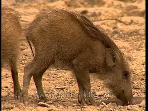 Wild Boar mother leads her piglets in Sariska National Park