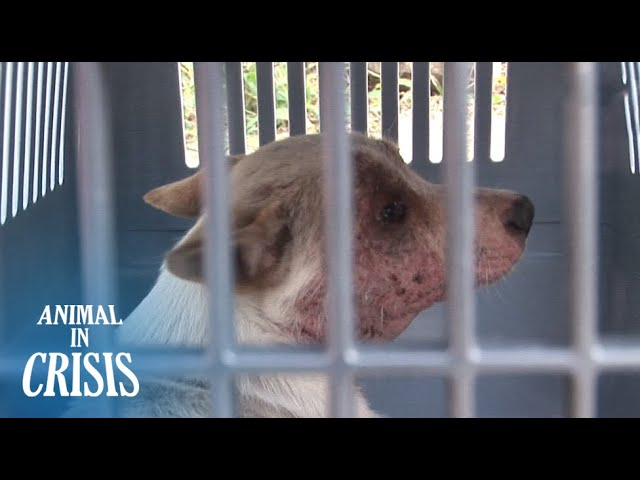 Dogs With A Skin Disease Rely On Each Other To Survive On The Street | Animal in Crisis EP72
