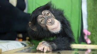 脳性まひの障害を負った雌のチンパンジー、ミルキーが、高知県立のいち...