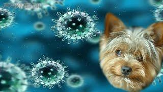 видео Инфекционный трахеобронхит у собак