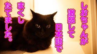 【しゃべる猫】激怒してまくし立てるしおちゃんが可愛い!【衝撃映像】 thumbnail