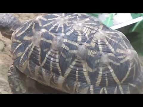 צב רדיאטה | גן חיות פראג | Radiated Tortoise (Astrochelys radiata) | Prague Zoo