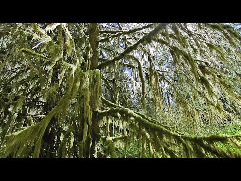 Hoh Rainforest | 2 Minute Instant Relaxation | Nature Relaxation Instacalm Video Series