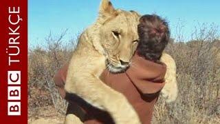 Bir aslan 'miyav' dedi - BBC TÜRKÇE