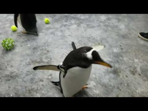 Loveland Living Planet Aquarium, UT - Penguin Feeding