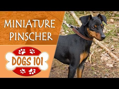 Dogs 101 - MINIATURE PINSCHER - Top Dog Facts About the MINIATURE PINSCHER