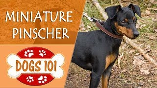 Dogs 101  MINIATURE PINSCHER  Top Dog Facts About the MINIATURE PINSCHER