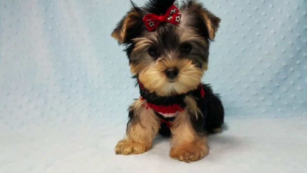 Catel Yorkshire Terrier Toy De Vanzare Youtube