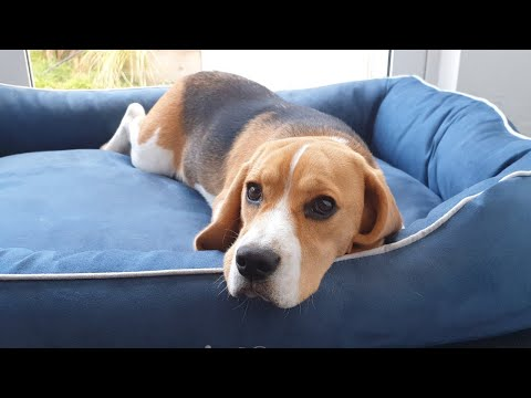 Beagle puppy plays and sleeps on new bed