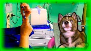 Как делать прививку собаке(Как делают прививку собаке и какие процедуры нужно проделать перед этим? Все это показано в этом замечатель..., 2016-05-14T16:37:48.000Z)