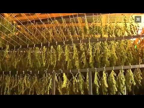 Première Récolte de la plus grande plantation de cannabis au monde !!