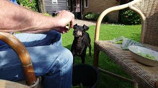 Chester the Manchester Terrier helps peeling broad beans