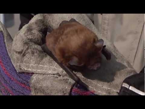 Все О Домашних Животных: Летучие Мыши