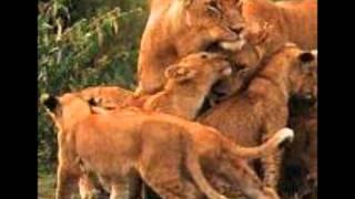 Les lionnes de Yannick Noah avec paroles