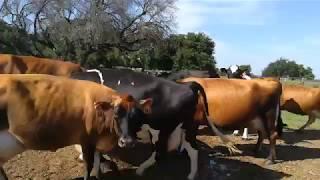 Bydło mleczne w USA: Obchód stada + kilka słów o TMR