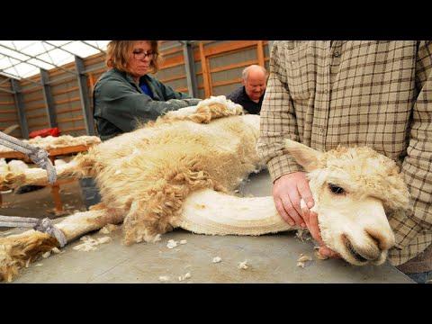 Amazing Alpaca Shearing Technique 🦙 - Alpaca Wool Processing in Factory - Harvesting Alpaca Fiber
