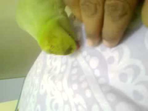 balochi talking parrot 123