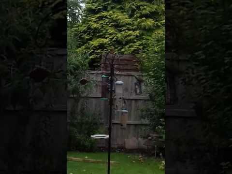 Starling flock feeding