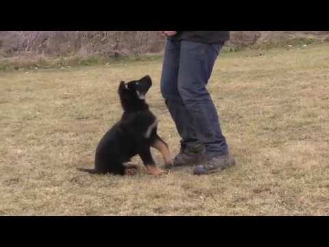 Obedience Trained German Shepherd Puppy - Creating Focus at 11 Weeks Old