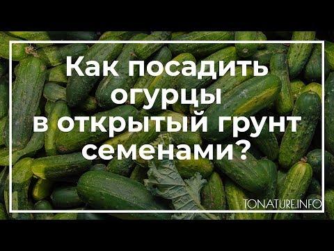 Как посадить огурцы в открытый грунт семенами?   toNature.Info