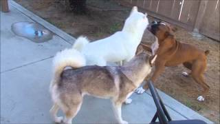 Boxer Zoomies! Huskies And Boxer Playing