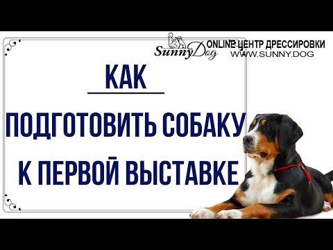 Как подготовить собаку к выставке самостоятельно видео уроки с нуля