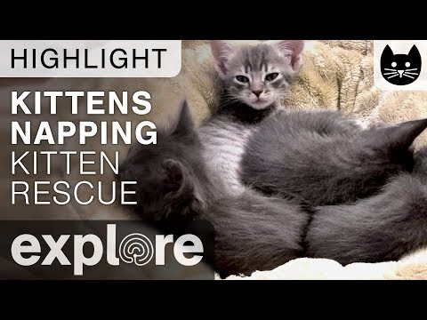 Kittens Napping (cute!) - Kitten Rescue Live Cam Highlight 10/31/17