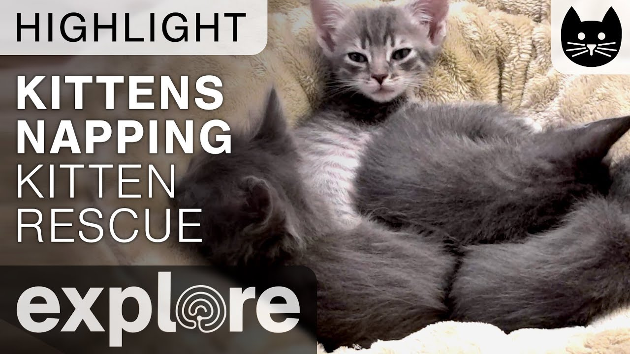 Kittens Napping cute Kitten Rescue Live Cam Highlight 10 31