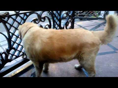 Anjing GOLDEN Jantan