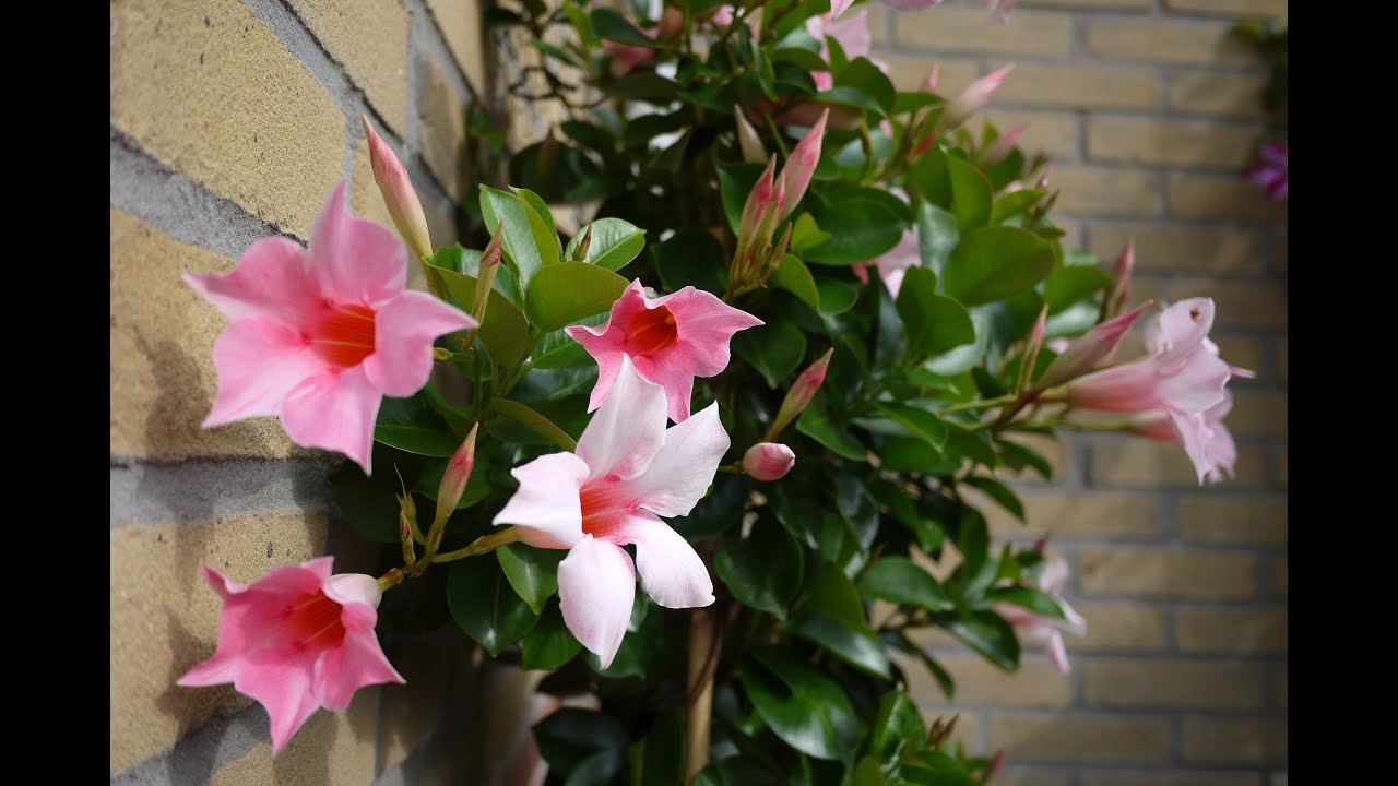 Mandevilla In A Pot Youtube