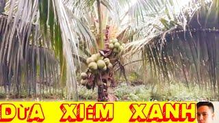 Mô hình trồng dừa xiêm xanh  dừa mã lai cho năng suất cao #LONGBƯỞI #phukiennongnghiep