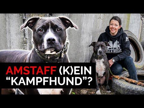 American Staffordshire Terrier Ein Kampfhund Amstaff
