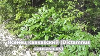 Ядовитые растения. Ясенец кавказский / Dictamnus caucasicus