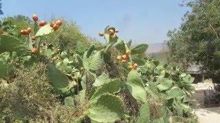 סברס (צבר מצוי).Indian fig opuntia, barbary fig, cactus pear, spineless cactus, prickly pear Israel