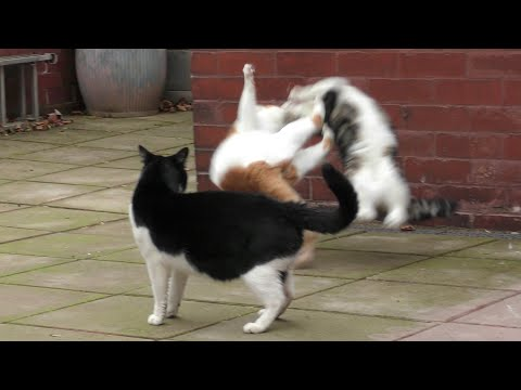 Cat Fight Compilation Video | 4K