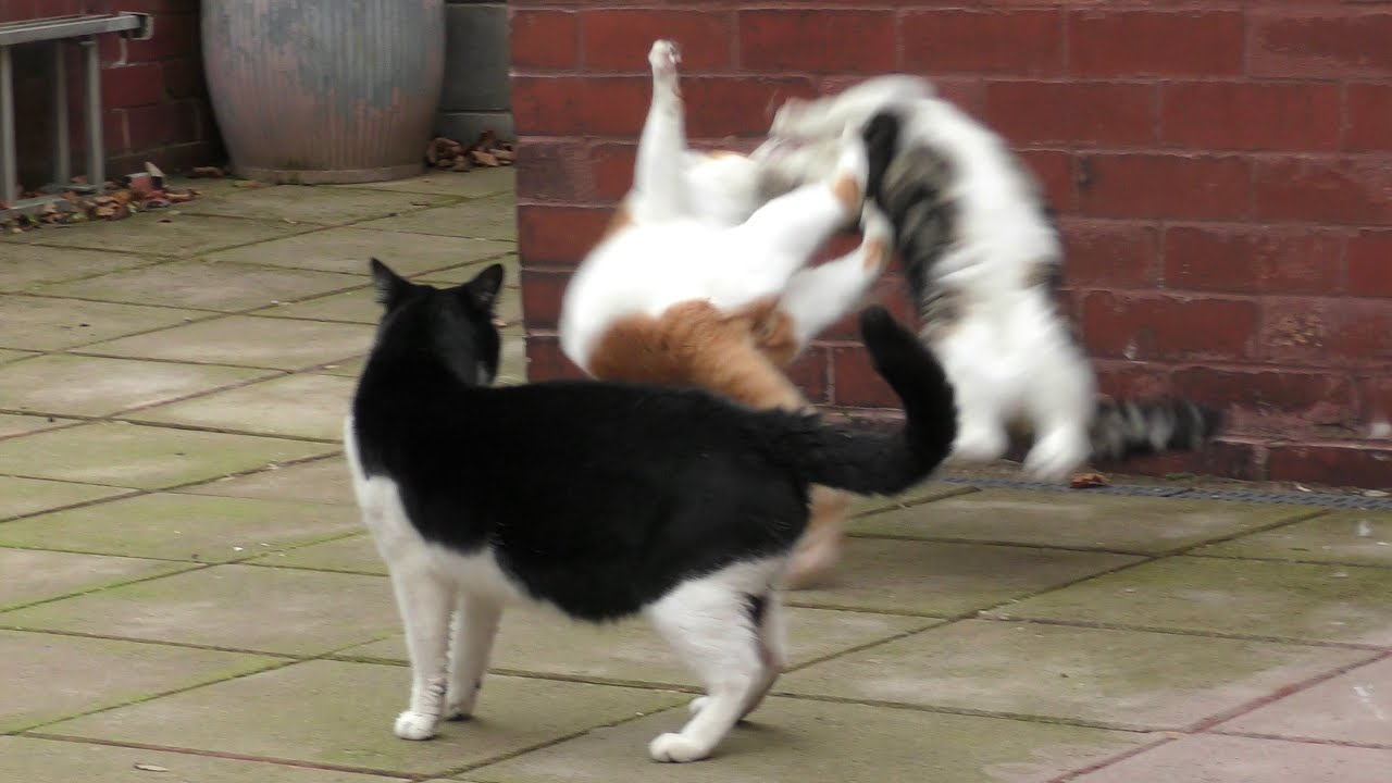 Cat Fight Compilation Video   4K