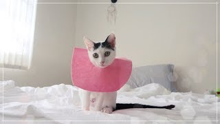 My furbaby, Pepe, got spayed! + DIY felt ecollar with only $1.99