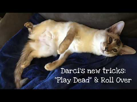 """Balinese Cat Darci's new tricks: """"Play Dead"""" & Roll Over"""