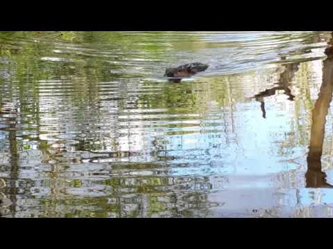 Pair of Beaver: Rancocas Creek