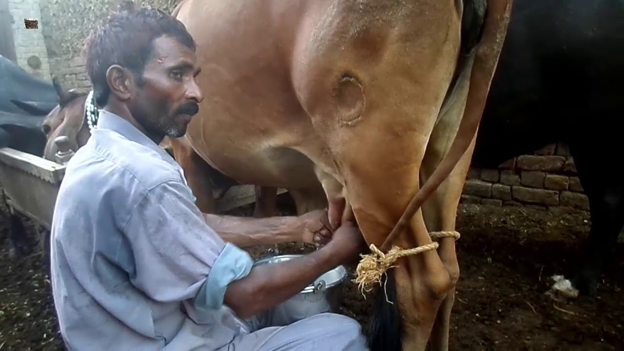 Milking Cows By Hand For Children For Kids How Cows Are Milked Video Top Milking Videos