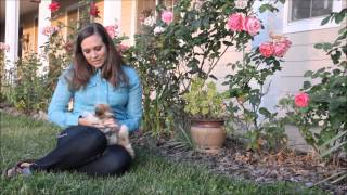 The First Days with your Havanese Puppy