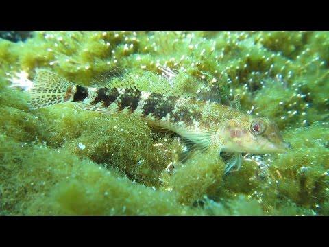 (먹)가막베도라치#1(Enneapterygius etheostomus)~Snake blenny, Snake triplefin
