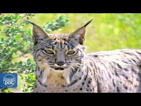 Iberian Lynx Documentary | Part 2