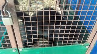 Black Persian cat 1year adult sales