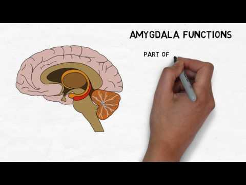 2-Minute Neuroscience: Amygdala