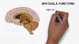 Download 2-Minute Neuroscience: Amygdala