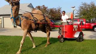 Call 815-600-6464-Animal Rental,Animal Rentals,Chicago Camel Guy 2,Camel Rental,Camel Rides,Chicago