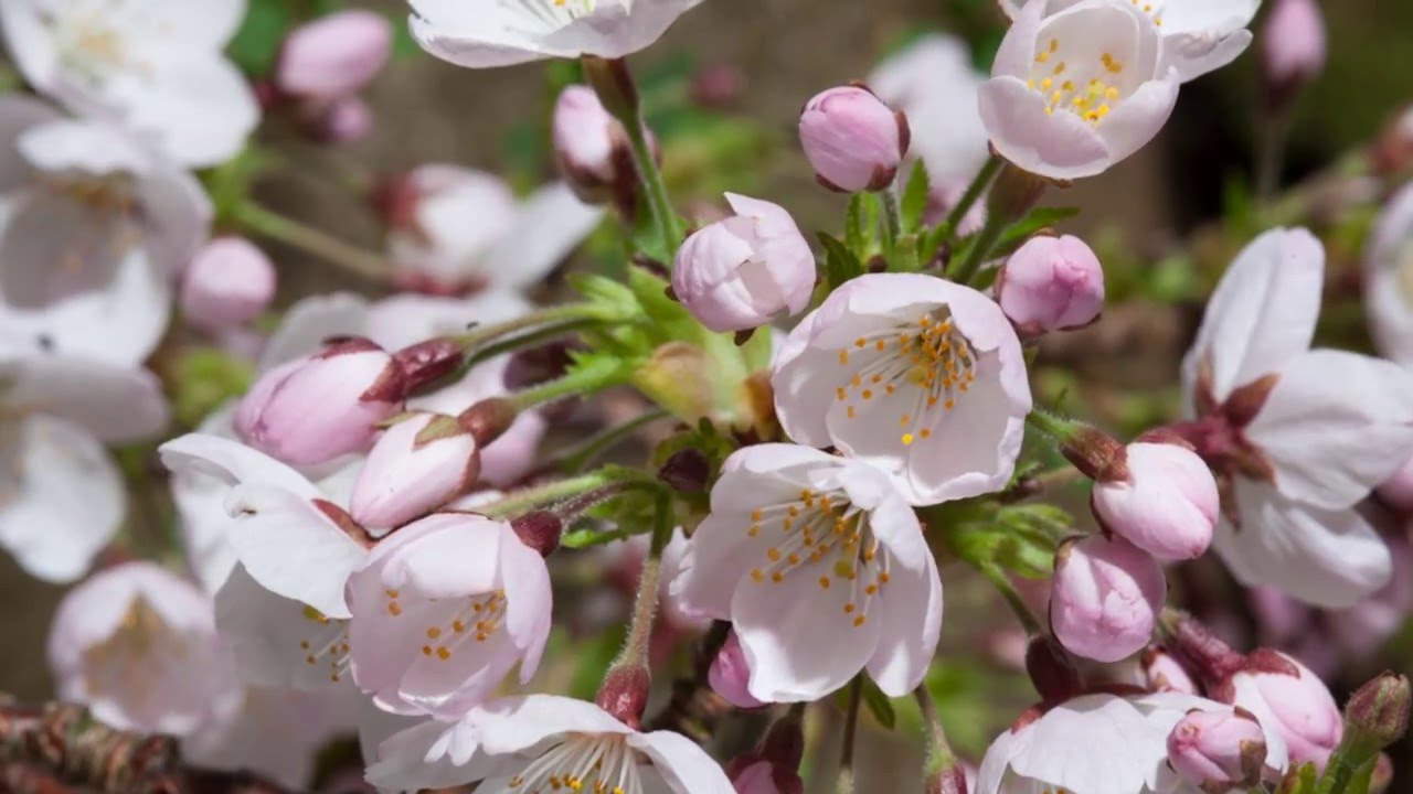 Timelapse Of Cherry Blossom Emerging Youtube