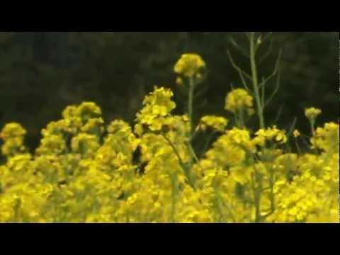 травы медоносы рапс
